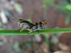 18 Tiny grasshopper