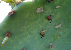 Narnia Femorata - Leaffooted Bug (young ones) on Prickly Pear cactus which they 'milk'