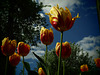 Tulips with Higher Aspirations