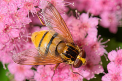 Hover Fly (a)