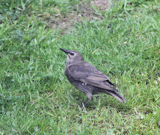 Starling Fledgling