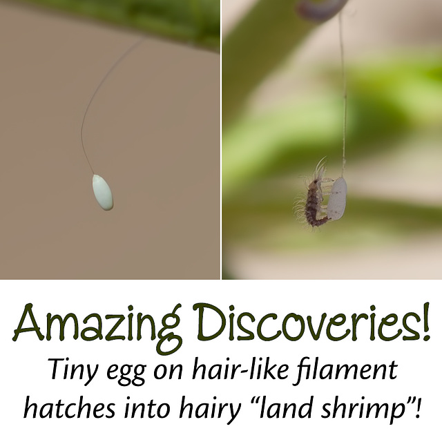 """The Amazing """"Land Shrimp"""": Green Lacewing Egg & Nymph (Chrysopidae)"""