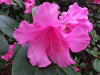 20130514 110Hw Rhododendron