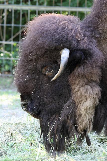 Bison (Wilhelma)
