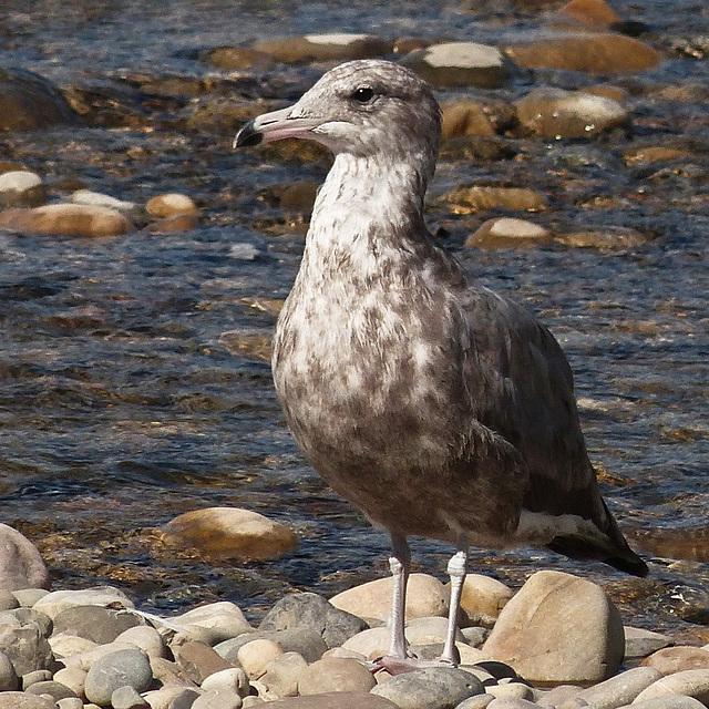 Juvenile Herring Gull?