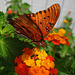 Gulf Fritillary butterfly on Lantana with water droplets