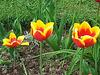 20130515 128Hw Tulpen