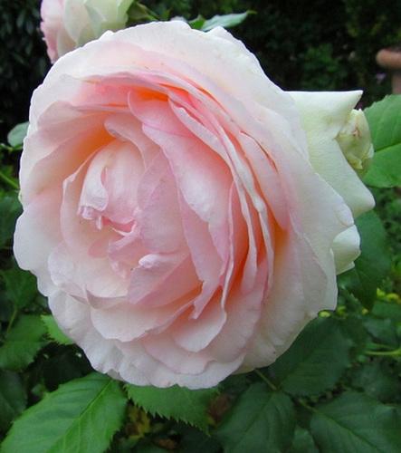 Une rose pour vos yeux