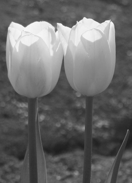 Tulips (Black & White)