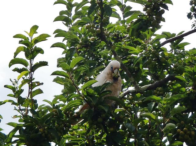 corella in the crabapple tree