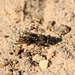 Common Spiny Digger Wasp with Prey 1