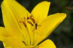 Lilie mit Besuchern / Lily with visitors