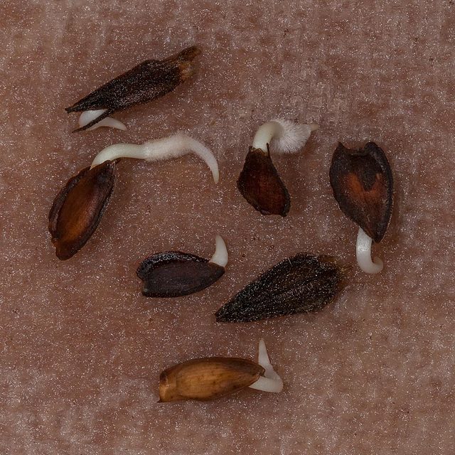 Popping Seed Series: Zinnia Seeds