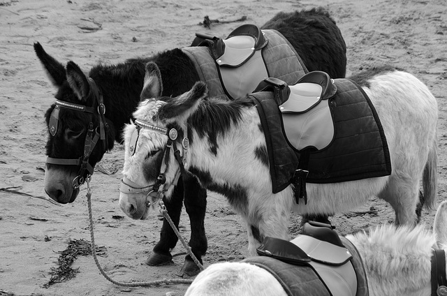 Beach Donkeys at Whitby, North Yorkshire