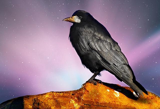 Rook (Corvus frugilegus).
