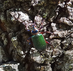 This beetle moved faster than I could film ! Calosoma scrutator and its common name of Fiery Searcher