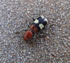 Checkered Beetle (Enoclerus rosmarus)