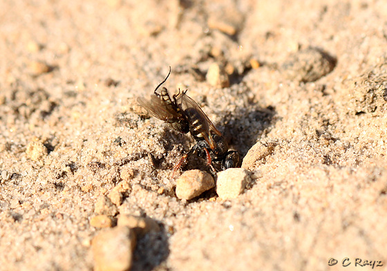 Common Spiny Digger Wasp with Prey 5