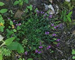 Polygala vulgaris- Polygala commune