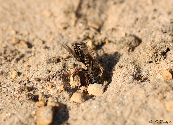Common Spiny Digger Wasp with Prey 6
