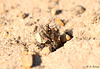 Common Spiny Digger Wasp with Prey 7