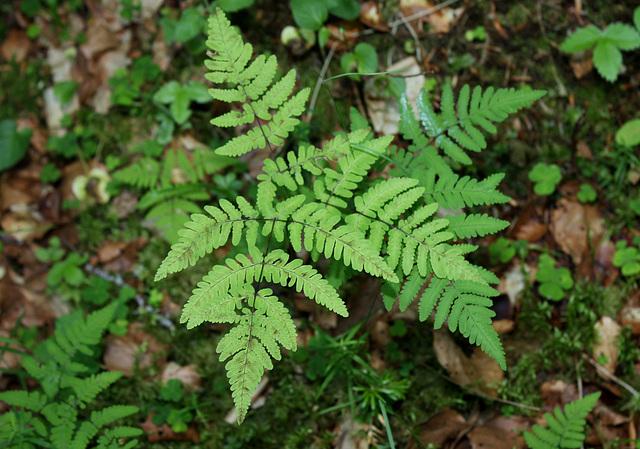 Gymnocarpium dryopteris-001