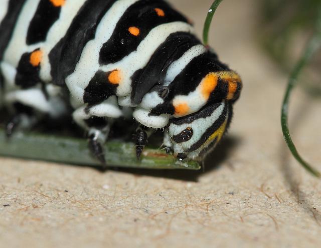 European Swallowtail (Papilio machaon gorganus) caterpillar