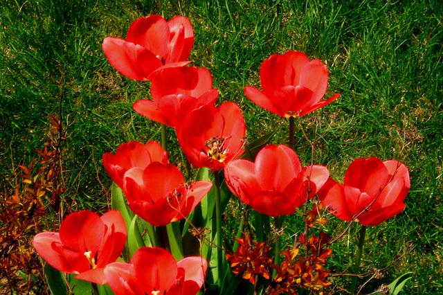 Le temps des tulipes….