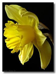 Daffodil Poise