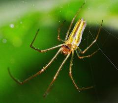 Long-jawed Orb Web Spider. Tetragnatha extensa