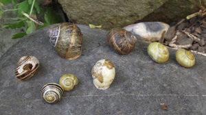 Hollow snail shells