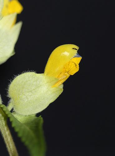 Rhinanthus alectorolophus (5)