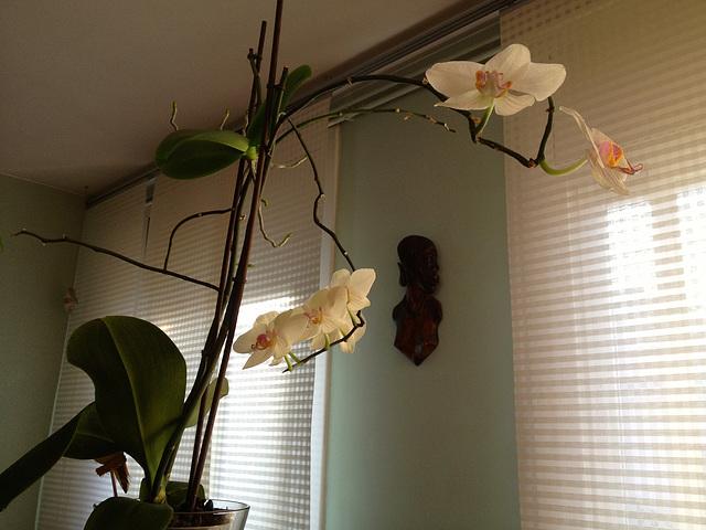 orquídea casolana 5