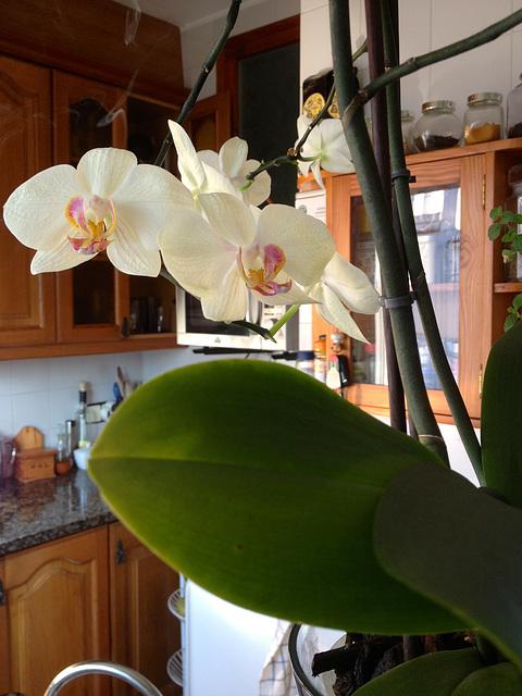 orquídea casolana 4