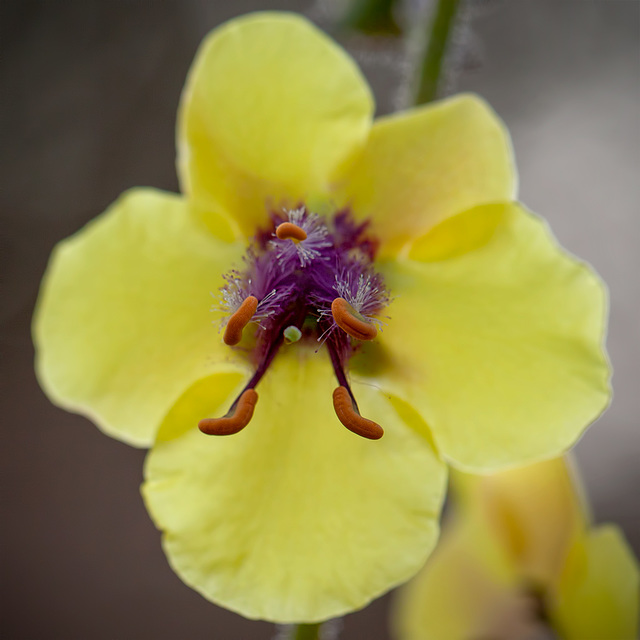 Moth Mullein Pistils From the Front