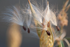 Milkweed Seeds, About To Fly Away!