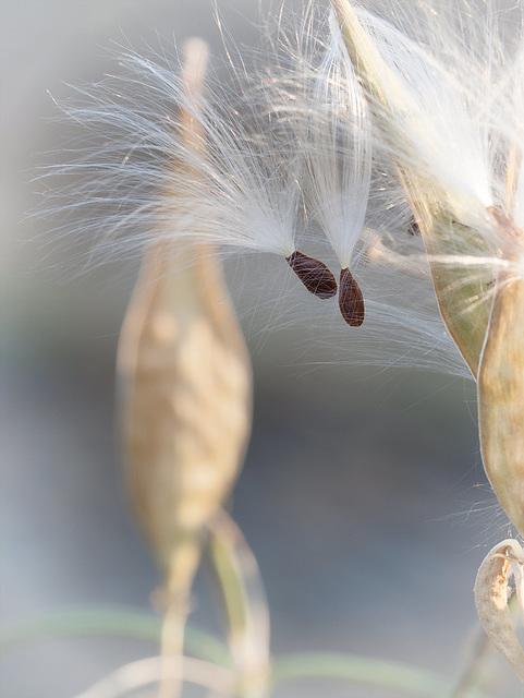 Pair of Milkweed Seeds