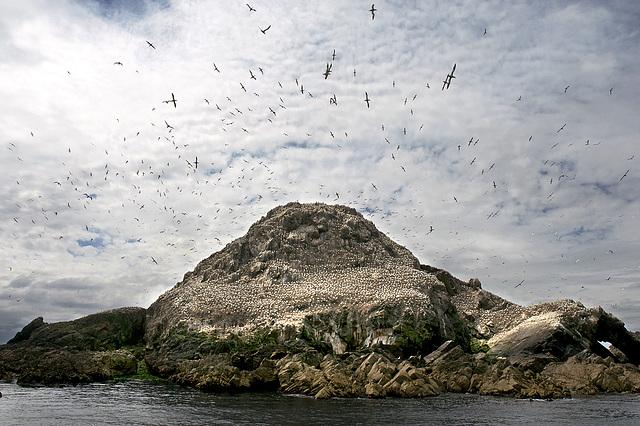 Fous de Bassan sur l'île Rouzic [Archipel des Sept-Iles - Perros-Guirec]
