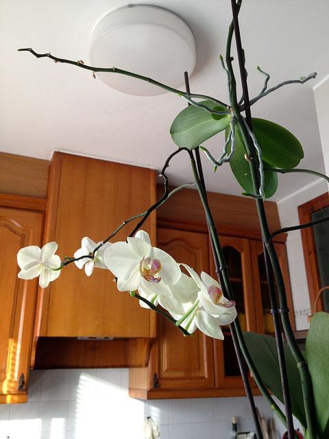 orquídea casolana 1