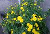 Buisson jaune