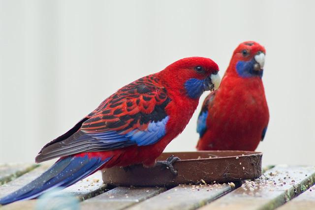 Crimson Rosella pair