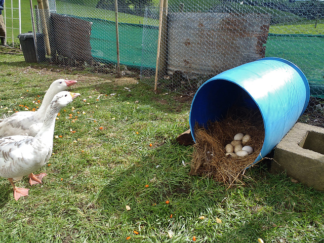 our Pilgrim geese are laying eggs!