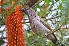 Brush wattlebird feeding