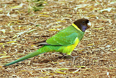 Port Lincoln Parrot (Ringnecked)