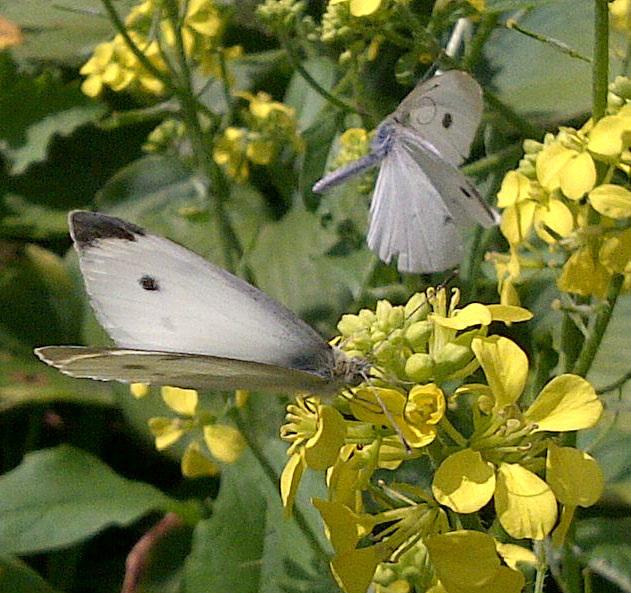 butterflies-IMG-20130802-00192