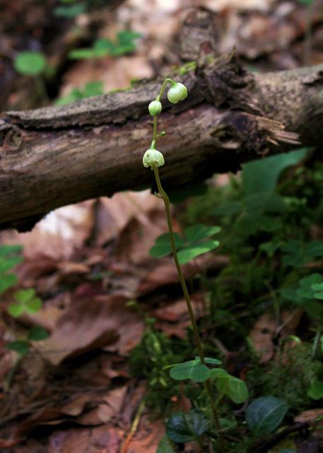 Pyrola chlorantha- Pyrole à fleurs verdâtres  (2)