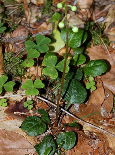 Pyrola chlorantha- Pyrole à fleurs verdâtres