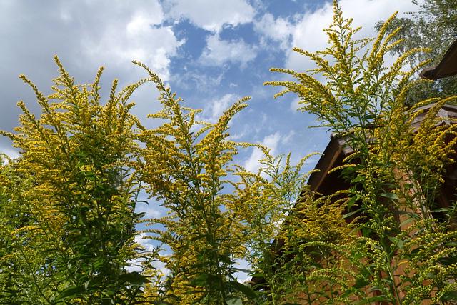 Kleine Glücksmomente - etaj feliĉaj momentoj / Goldrute in meinem Garten - solidago en mia ĝardeno