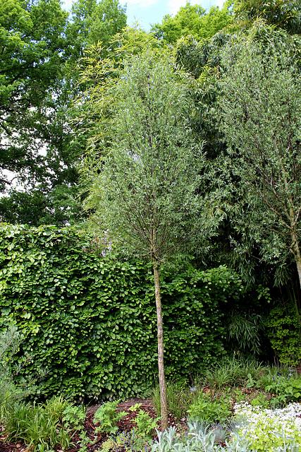 Le Jardin de l'ivresse - Jardin 10 -Salix alba
