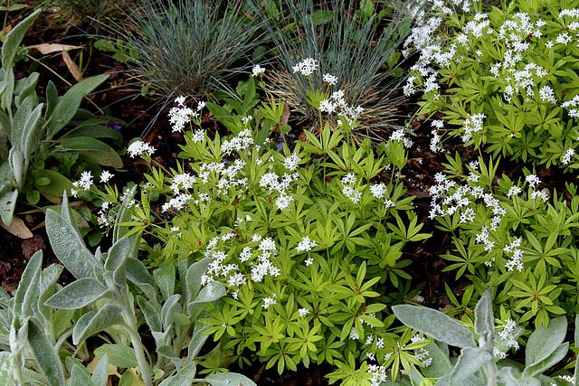 Le Jardin de l'ivresse - Jardin 10- Galium odoratum